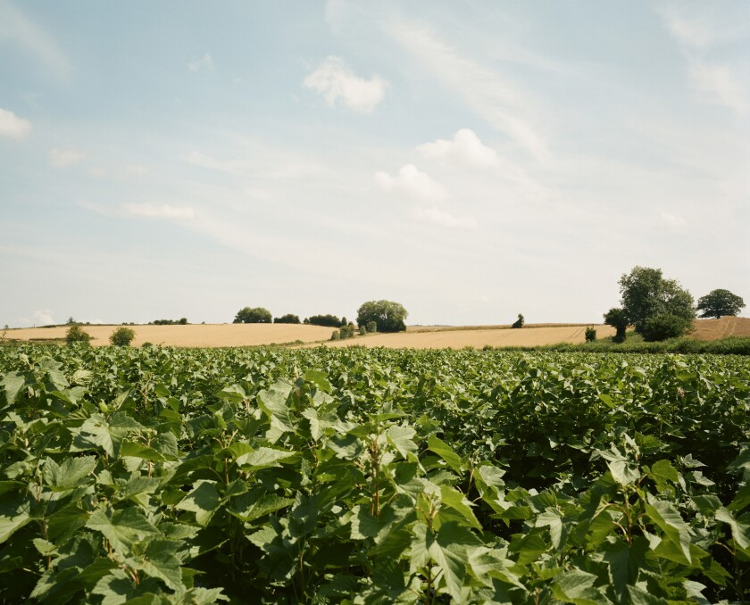 The view from the Snell farm blackcurrant fields. British farmers worry about who will pick the fruit next year.