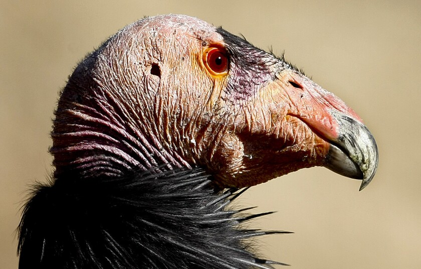 California condors are the largest birds in North America.