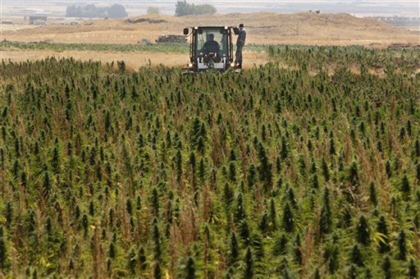 In this photo taken Thursday, Aug. 20, 2009, a bulldozer from the Lebanese anti-drugs unit destroys cannabis plants in the town of Bouday near the northeastern Bekaa Valley region of Baalbek, Lebanon. Hundreds of policemen supported by Lebanese soldiers began a major campaign to destroy about 15,00