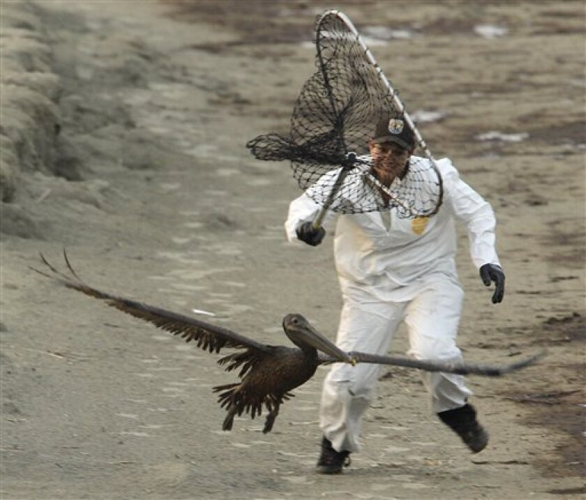 United States Fish and Wildlife biologist Kayla Dibenedetto attempts to catch an oiled Brown Pelican at Grand Isle, La. Saturday, June 5, 2010. The pair chased the bird for more than two hours before giving up because of darkness and expected to try again in the morning. (AP Photo/Charlie Riedel)