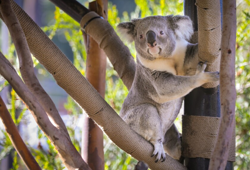 The San Diego Zoo Safari Park is closed for a while, but you can still watch koalas by webcam.