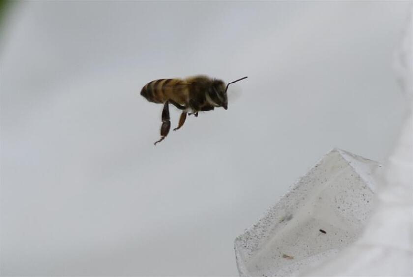 Las abejas domésticas, que son las que los apicultores mantienen en sus fincas para producción de miel o servicios de polinización, se perdieron en un 80 por ciento tras el huracán María y de las 4.000 colmenas domésticas que había quedaron 1.000. EFE/Archivo