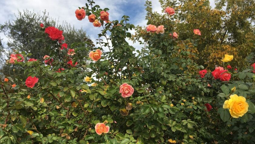 September Rose Tending Brings Blooms Later In Fall The San Diego