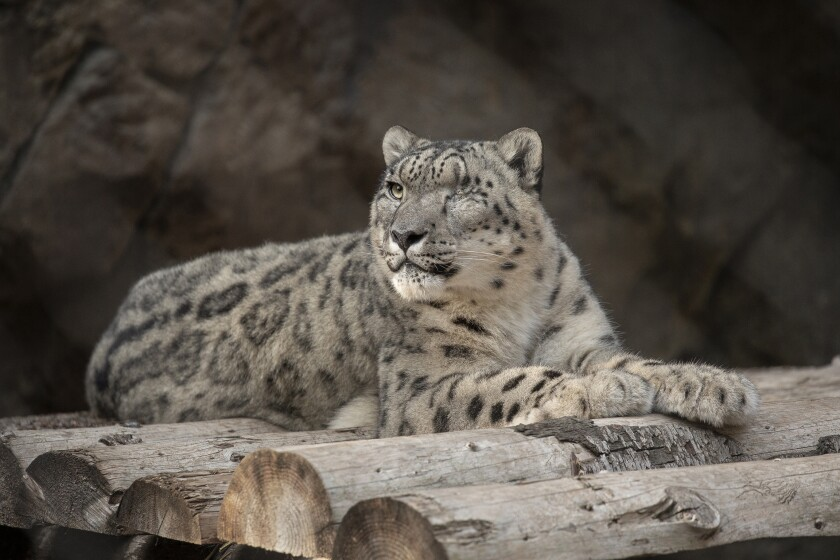 Ramil, a 9-year-old snow leopard at the San Diego Zoo.