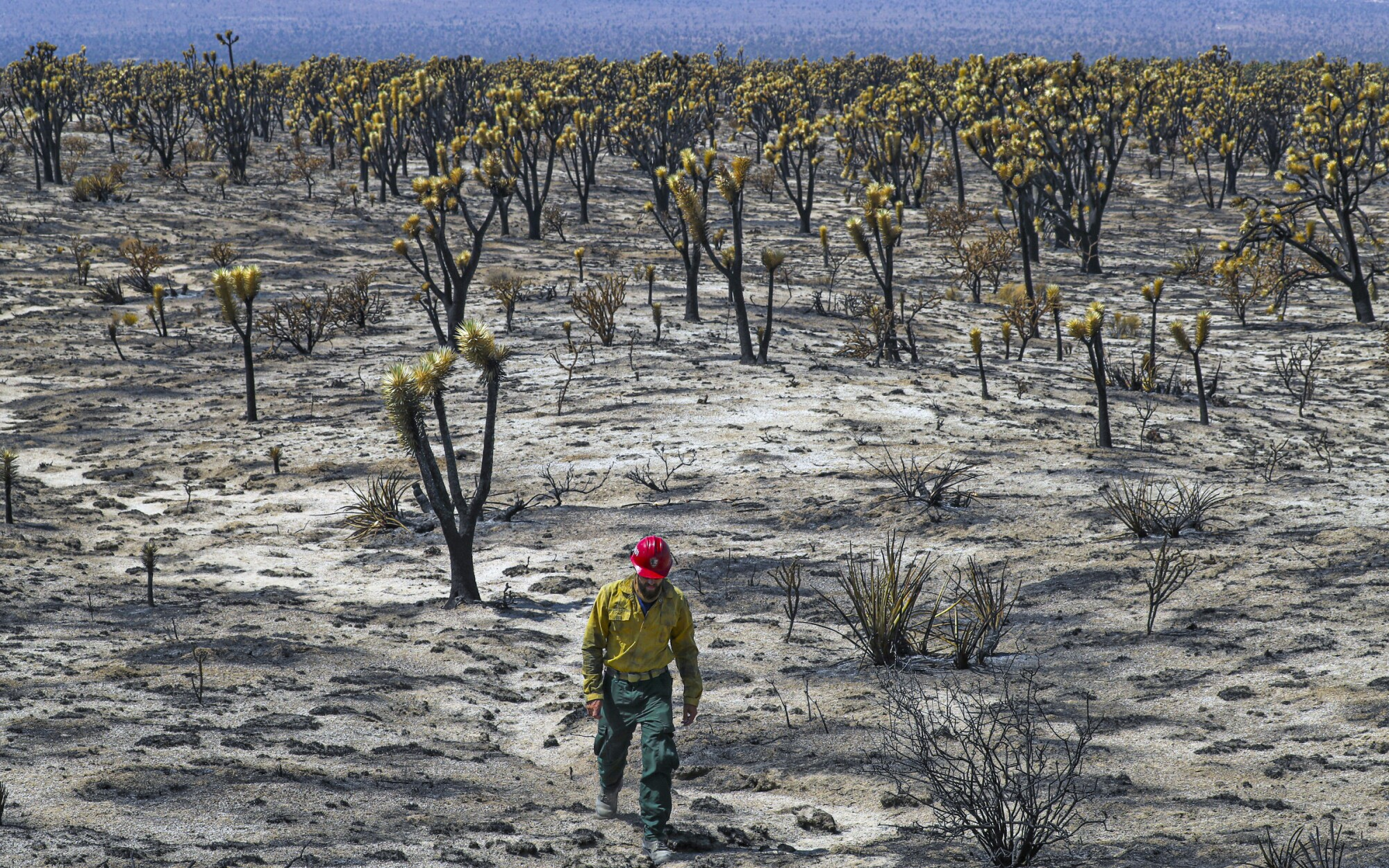 J.T. Sohr is dwarfed by the massive expanse of a charred section of Mojave National Preserve.