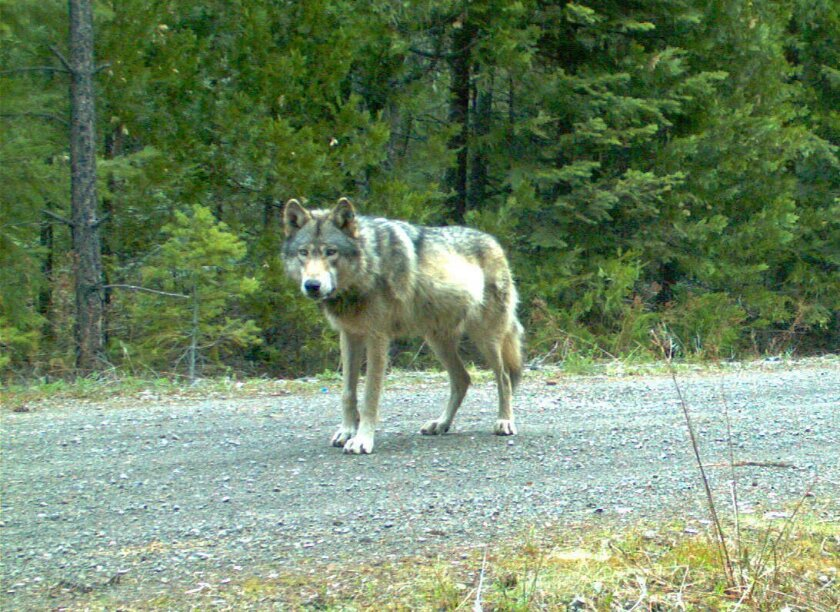 FILE - This photo provided by the Oregon Department of Fish and Wildlife which was made with a remote camera on May 3, 2014 shows the wolf designated OR-7 on the Rogue River-Siskiyou National Forest in southwest Oregon's Cascade Range. The department says genetic testing from the Univeristy of Idaho shows the mate OR-7 found is a wild wolf, and related to two packs in northeastern Oregon neighboring the Imnaha pack that OR-7 left in 2011 to find a mate. (AP Photo/Oregon Department of Fish and Wildlife)