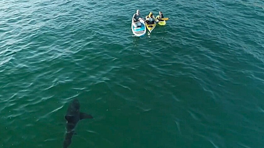 A shark swimming near people.