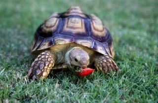 Pearl the tortoise