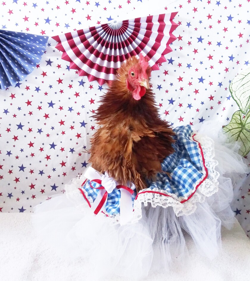 Ginger Ale, a chicken, wore a patriotically-themed skirt.