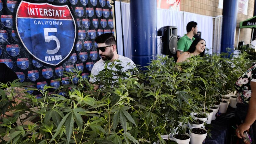 FILE - This Oct. 20, 2018, file photo shows marijuana clone plants displayed for sale by Interstate