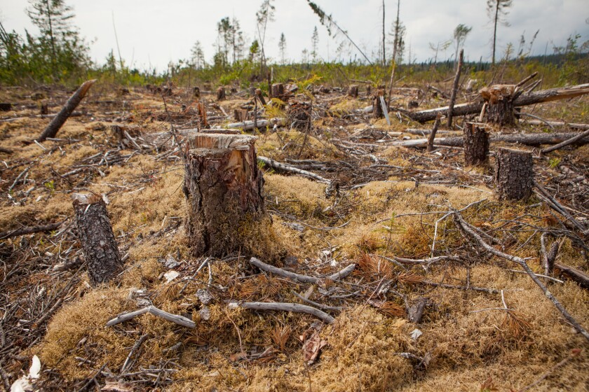 A clear-cut forest in Cree territory in northern Quebec.