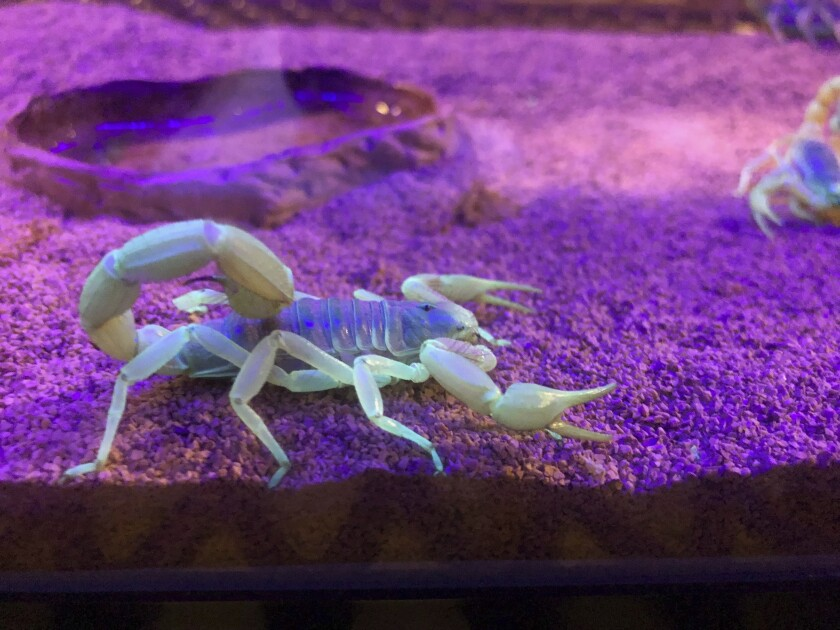 In this Aug. 18, 2019 photo, a scorpion appears in a tank after being captured in Lost Dutchman State Park, Ariz. Feared, admired and loathed, scorpions have roamed the earth for 450 million years. An interesting way to learn about the critters, which glow under black lights, is to go on scorpion hunts in Southwest states like Arizona and New Mexico. Wear closed-toed shoes and pants, bring black lights and prepare to be awed. (AP Photo/Peter Prengaman)