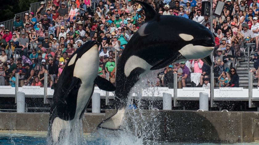 Two orcas leap from the water at SeaWorld's underwater viewing pool during one of the park's educational presentations.