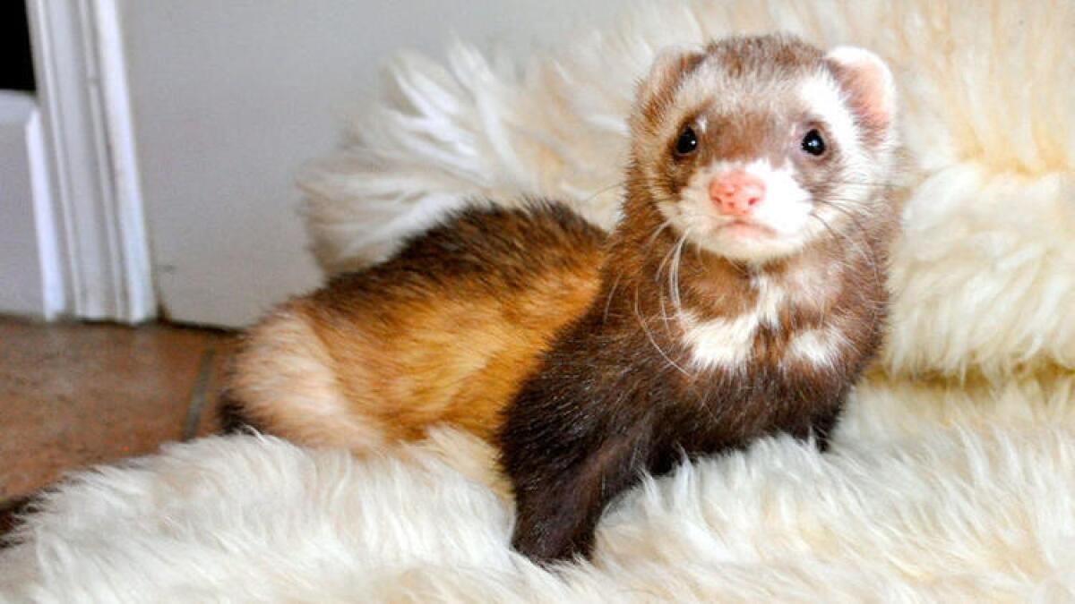 Ferrets May Find Friends In La Mesa The San Diego Union Tribune