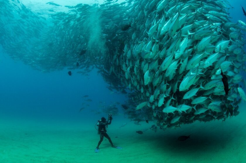 Octavio Aburto, a marine ecologist and prize-winning photographer at the Scripps Institution of Oceanography, took this image of Big Eye Trevally swimming off Cabo Pulmo, a small village in the Gulf of California in Mexico. The man in the photo is a dive master who was working with Aburto.