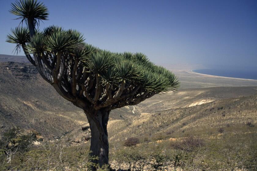 Socotra Dragon Tree or Dragon Blood Tree