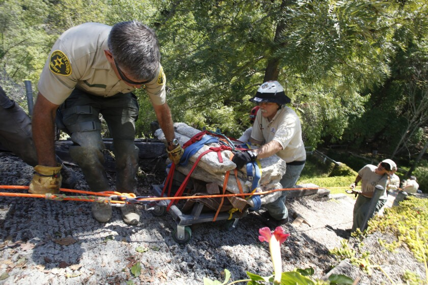RANCHO PALOS VERDES, CALIFORNIA, AUGUST 1, 2014: (left) Mike Leum, Assistant Direrctor Reserve Chief and John McEntly of The Los Angeles County Sheriff Montrose Mountain Rescue team use their ropes, pulleys, and strength to move a 1,00-pound, 12-million-year-old Baleen whale fossil up a steep hill behind the homes on the 4600 block of Browndeer Lane in Rancho Palos Verdes August 1, 2014 (Mark Boster / Los Angeles Times ).
