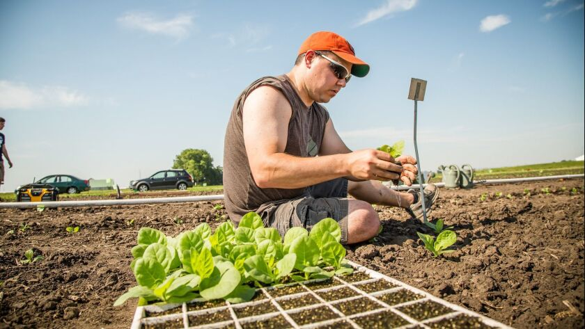 Scientist Paul South transplants tobacco seedlings by hand to test alternate photorespiratory pathways in real-world field conditions.