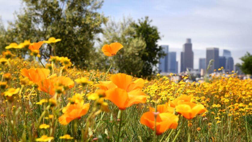 California poppies at Los Angeles State Historic Park.
