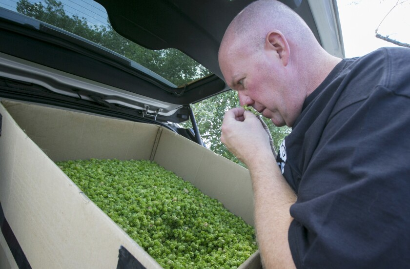 Tom Nickel, owner of Nickel Beer in Julian, smells just-harvested Cashmere hops at the Star D Ranch and Hop Farm.