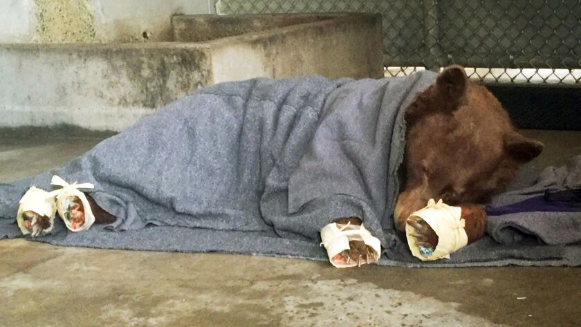 A bear, injured in a wildfire, rests with its badly burned paws wrapped in fish skin and covered in corn husks during treatment at the UC Davis Veterinary Medical Teaching Hospital.