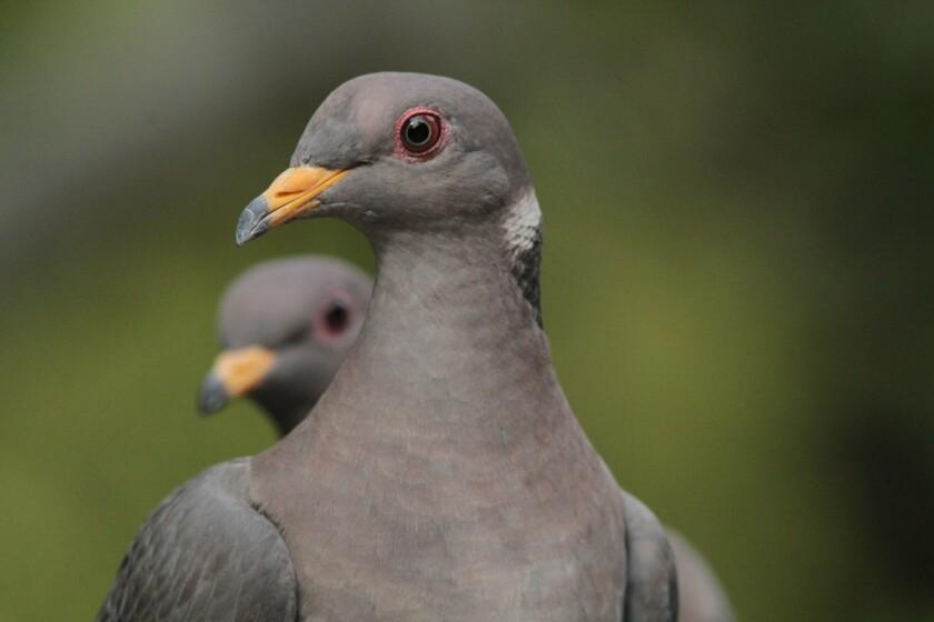 Reader photo: Band-tailed pigeons in Pasadena