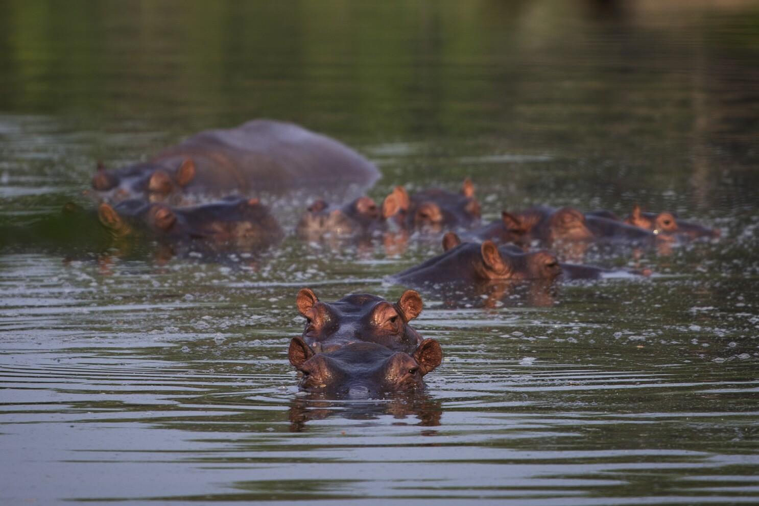 Hipopotamos De Pablo Escobar Se Reproducen Y Causan Alarma Los Angeles Times