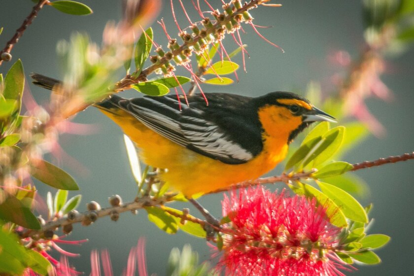 A visiting Bullock's oriole enjoys the nectar from a bottlebrush tree.