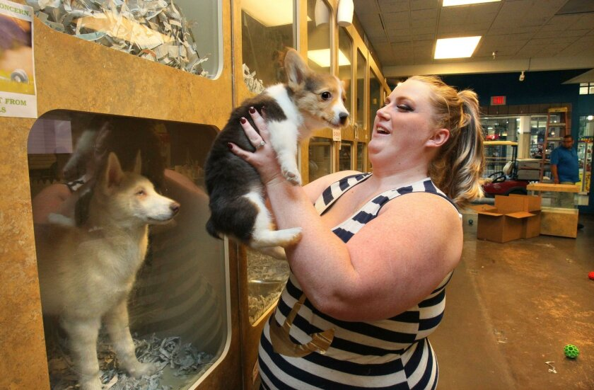"Alycia Ostermann, manager at the Carlsbad Pets store at The Shoppes at Carlsbad mall, holds ""Jumper,"" a Pembroke Welsh corgi. All of store's dogs were moved to the company's store in Escondido when the Carlsbad store closed in 2016."