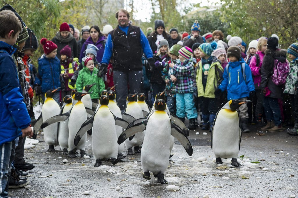 King penguins parade at the zoo in Zurich, Switzerland, in November 2013.
