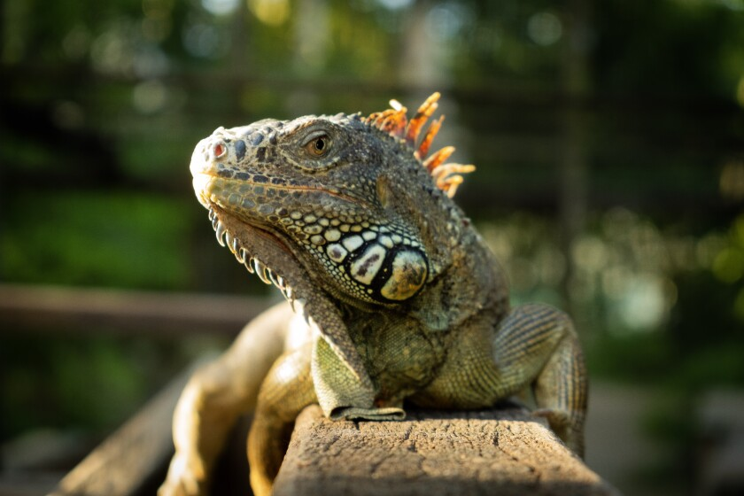 There are more than 20 green iguanas in the enclosed educational exhibit at San Ignacio Resort Hotel.