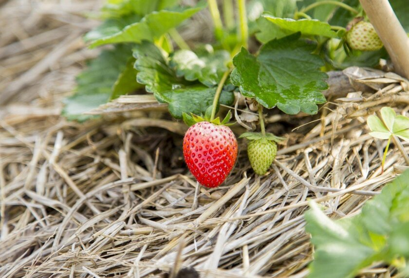 Straw is used as mulch under a strawberry plant.