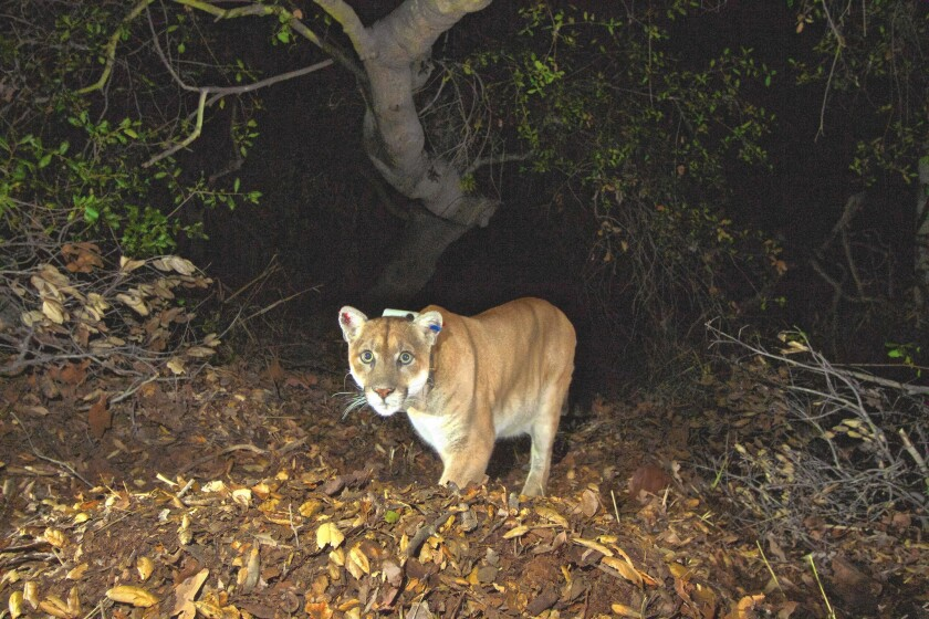 The mountain lion known as P-22, fitted with a GPS collar, is caught on camera on Griffith park.