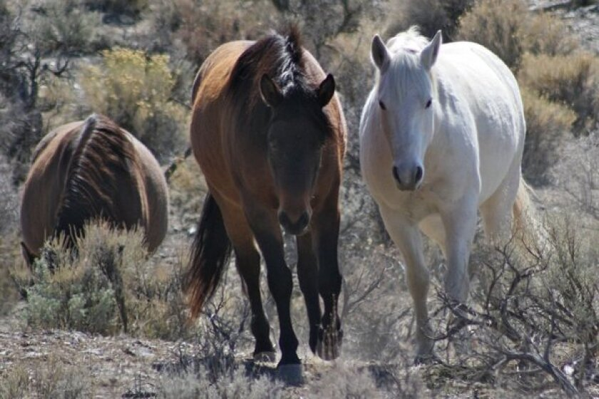 Feds round up last of wild mustangs in Carson City neighborhood
