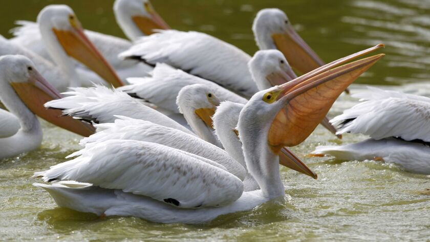American white pelicans cruise along the water at Lindo Lake in Lakeside looking for food.