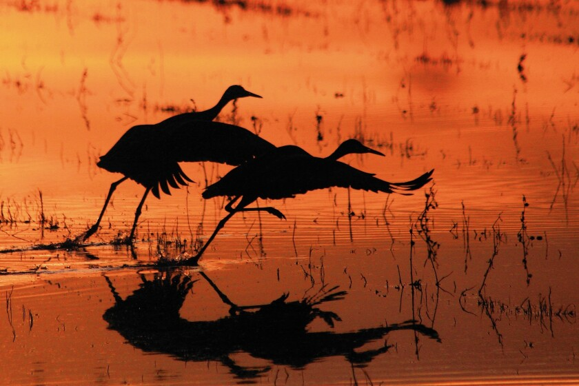 Sandhill cranes take flight in the early morning at Bosque del Apache National Wildlife Refuge in New Mexico.