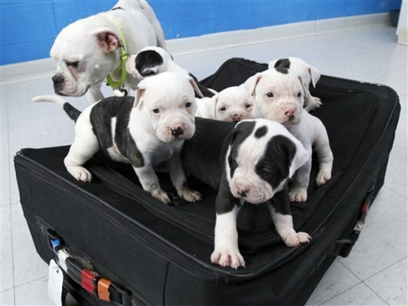 This Tuesday, April 10, 2012, photo shows a litter of six puppies, and their mother, an English bulldog mix, at the Toledo Area Humane Society in Maumee, Ohio. A man tried to abandon the six puppies by zipping them inside a suitcase and leaving it outside an Ohio business near a trash bin with their mother. The man was charged after authorities found he'd left the luggage tag with his contact information attached. (AP Photo/The Blade, Dave Zapotosky)