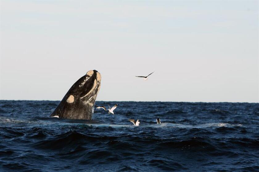 Los animales más grandes del mundo, las ballenas azules, actúan la mayor parte del tiempo como diestras, aunque cuando nadan cerca de la superficie cambian a su izquierda para poder alimentarse mejor, según un estudio divulgado este lunes en la revista Current Biology. EFE/ARCHIVO