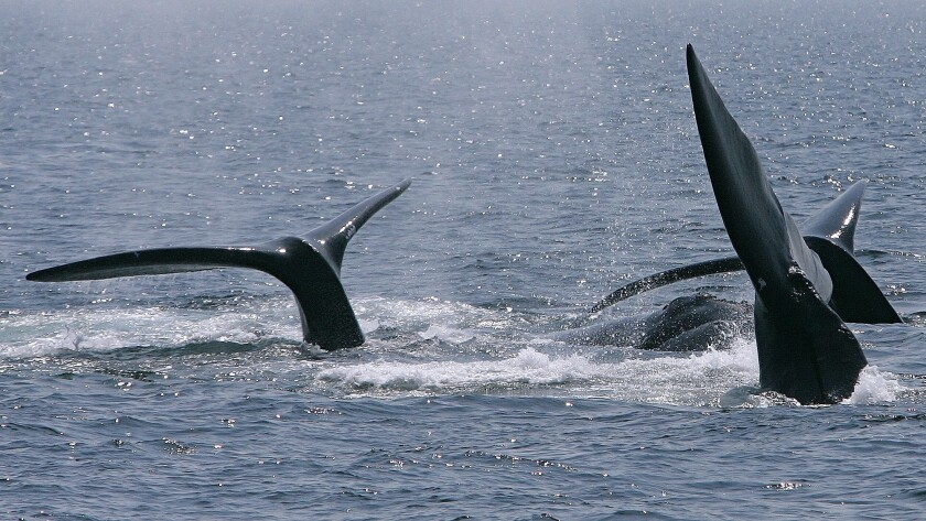Right Whales Deaths