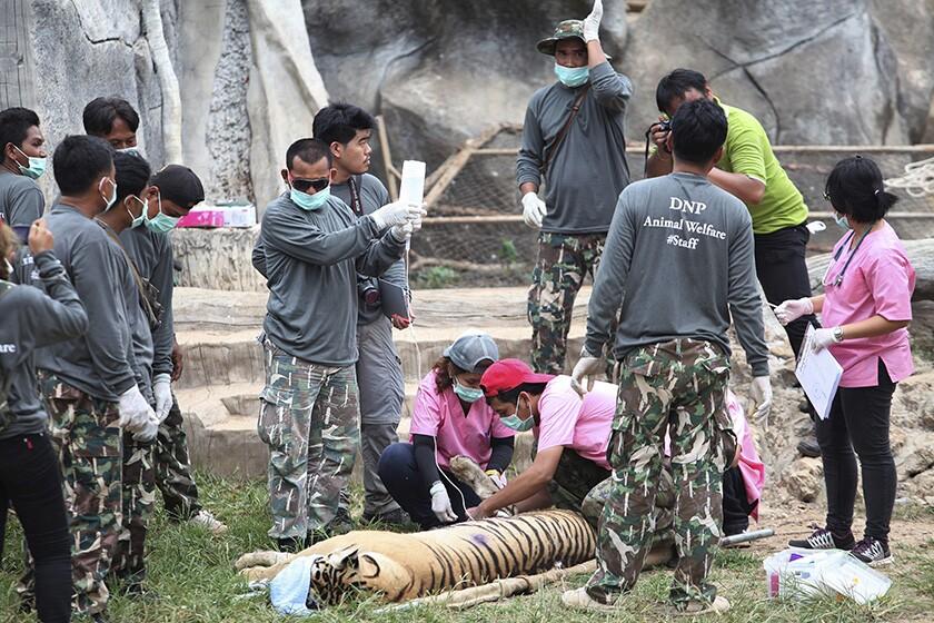 Thailand tiger deaths