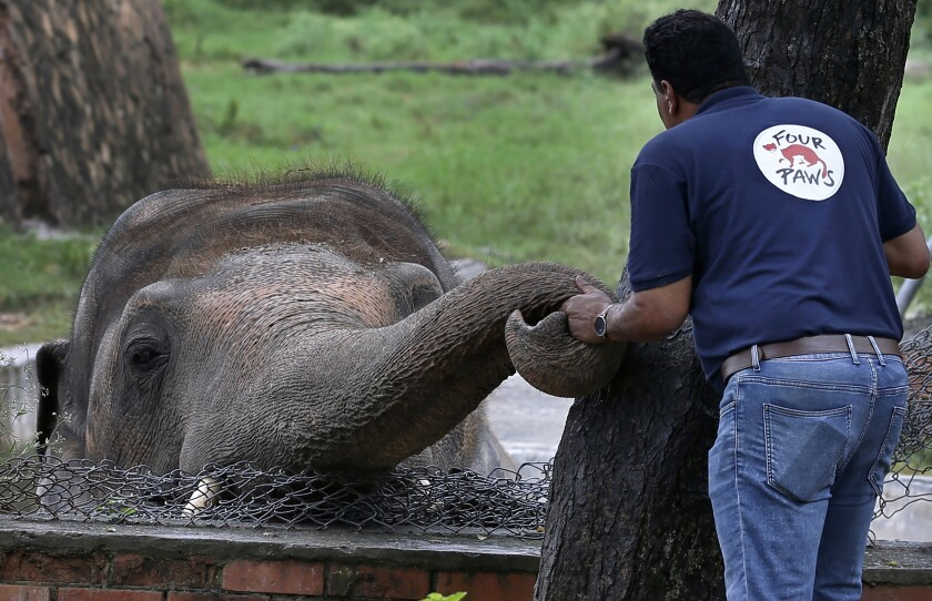 A veterinarian from the animal welfare organization Four Paws offers comfort to Kaavan the elephant in Islamabad, Pakistan
