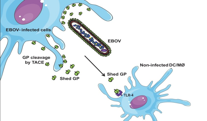 New research suggests that Ebola's deadly inflammatory effects may be caused by the result of protein shedding by infected cells.