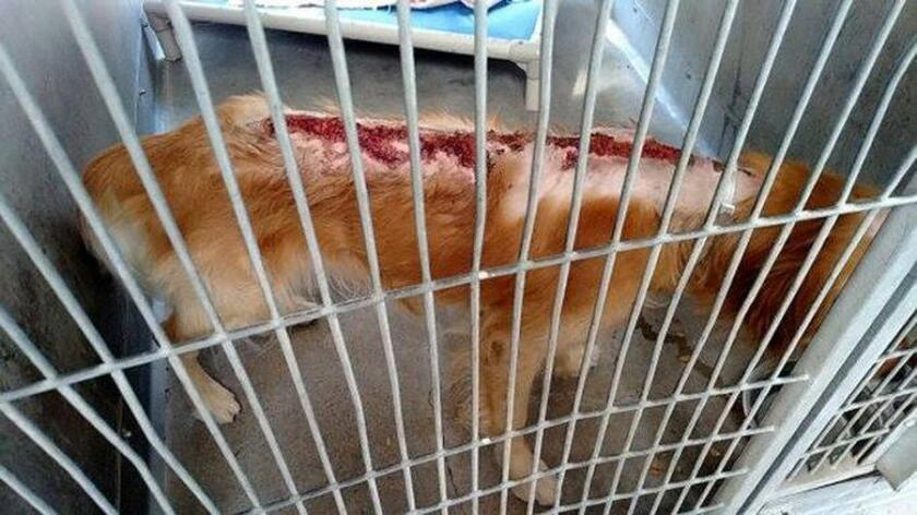 One of five dogs burned in the last two months. Authorities say the fifth report came in Monday and was in connection with an attack in June.