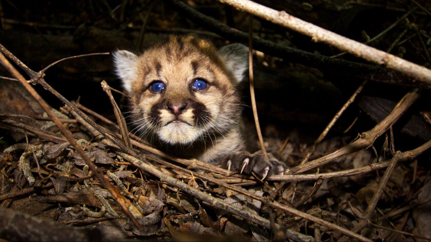 A month-old mountain lion, named P-44, in the Santa Monica Mountains. The population of pumas living in the Greater Los Angeles could go extinct in 50 years without new lions migrating to the area isolated by freeways and human development.