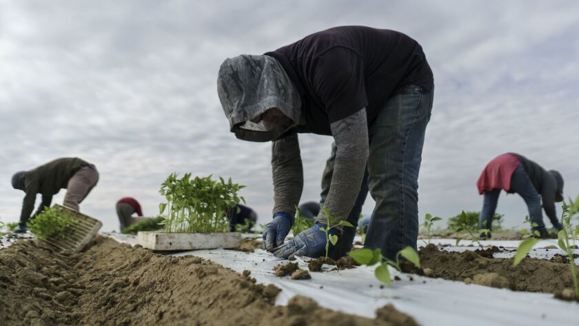Migrant workers transplant jalapeño sprouts into the soil at a farm in Lamont, Calif., on March 7.