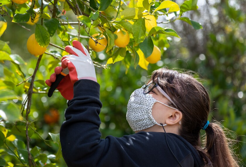 Paige Cook, 18, picked lemons in the Escondido backyard of her teacher Meghan Hoppes on Tuesday.
