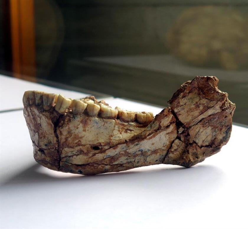 La morfología de los restos de unas mandíbulas humanas del Pleistoceno tardío, que terminó hace aproximadamente 10.000 años, sugiere que los principales alimentos en esa época en el sudeste asiático eran la carne seca y la planta de palma, según un estudio publicado hoy por la revista PLOS. EFE/Archivo