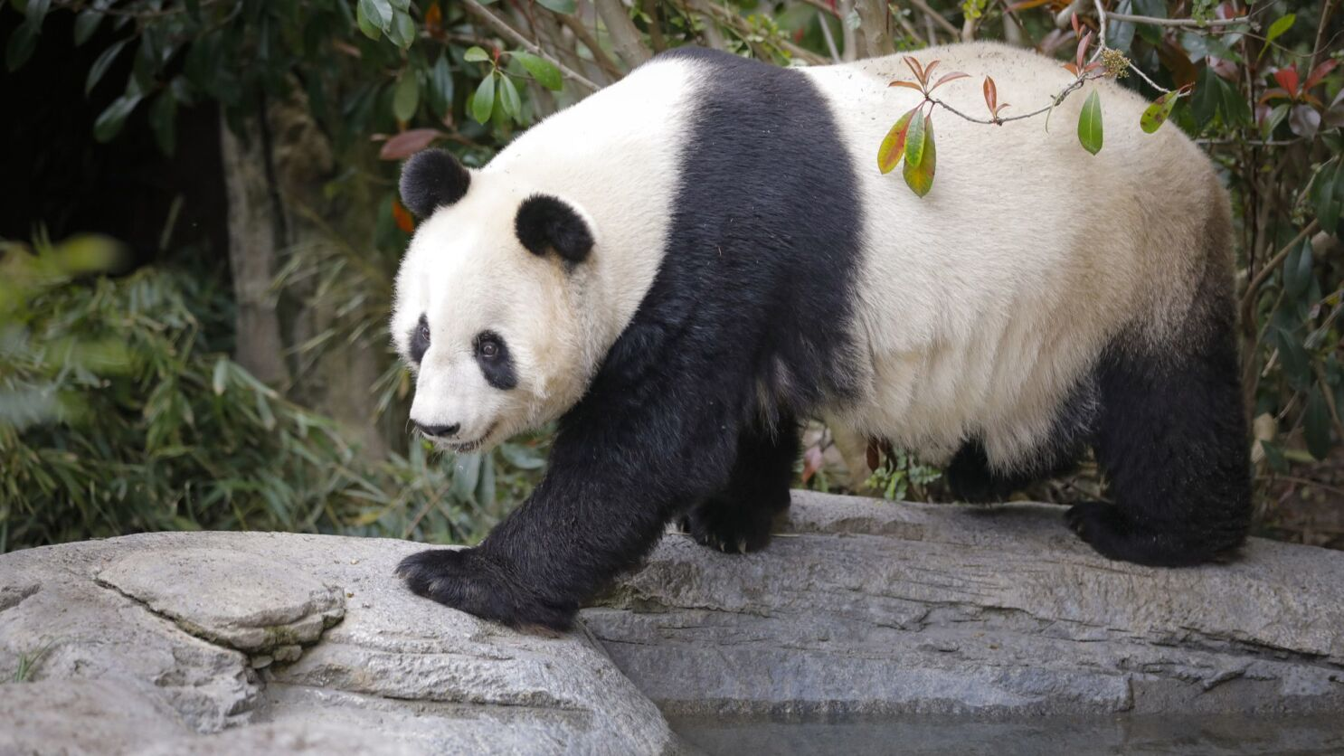 Last Pandas At San Diego Zoo Are Leaving The San Diego Union Tribune
