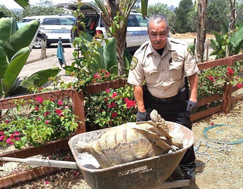 Officer Garcia moving the tortoise.