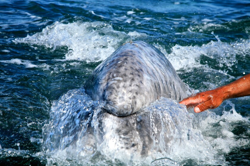 San Ignacio Lagoon gray whale watching in Baja California Sur, Mexico.
